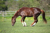 Fototapeta Chestnut horse rolling on the grass in summer