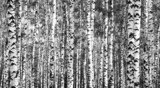 Fototapety Trunks birch trees black and white