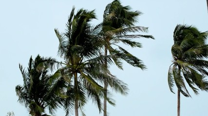 Palms at Hurricane. Strong Wind on the Tropical Island.
