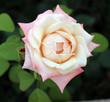 Obrazy na płótnie, fototapety, zdjęcia, fotoobrazy drukowane : Single  Rose