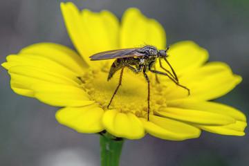 Mosquito of yellow flower