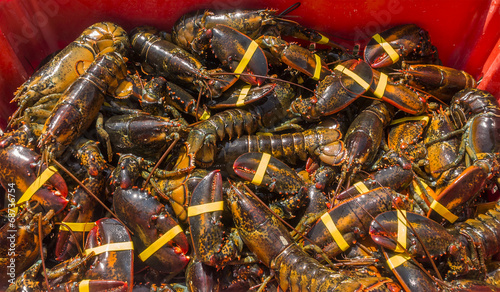Fresh live New England lobsters just off the boat - 68736754