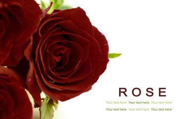 Velvet red roses on white background. Greeting card.