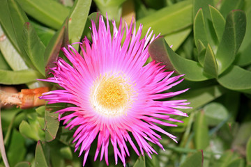 Carpobrotus edulis flower