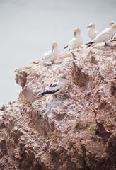 Morus bassanus - gannets at Helgoland germany