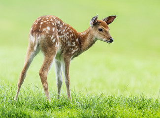 fallow deer- baby animal
