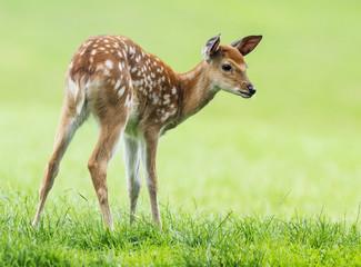 fallow deer- baby animal