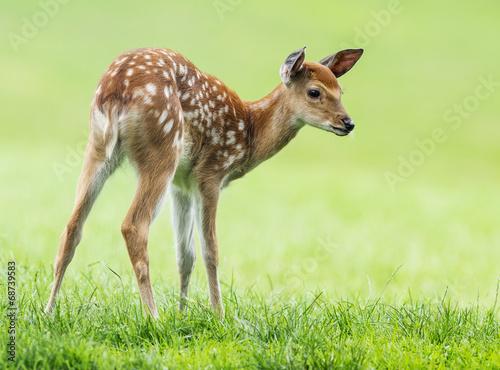 Foto op Aluminium Hert fallow deer- baby animal