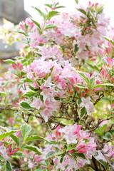 Weigela 'Florida Variegata' blossom