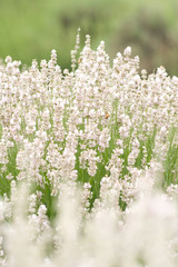 White Lavender Background