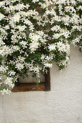White clematis hanging over a window