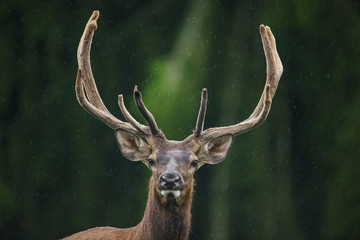Cervus elaphus - deer in rain