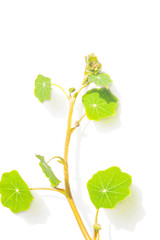 Green nasturtium leaves on white background.