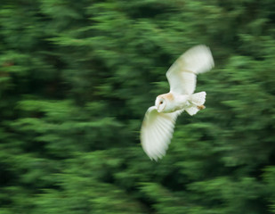 Barn Owl with motion blur