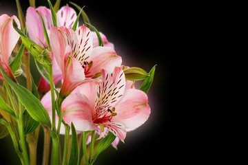 pink lilies isolated on the black background