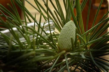 Pinus Fyrreslægten Beintbaam Sosna Sosna Pine extract