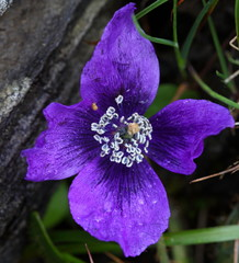 Meconopsis, purple  poppy