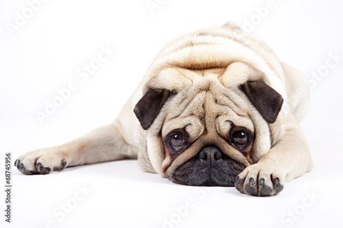 Staande foto Hond english bulldog
