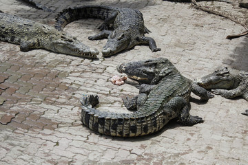 Crocodile in the zoo.