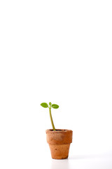 Seedling in clay pots