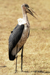 Marabou Stork on the Masai Mara in Africa
