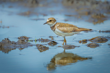 Little Ringed Plover (Charadrius dubius) with her shadow