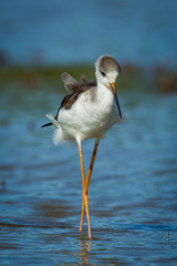 Close up portrait of Black-winged Stilt(Himantopus himantopus )