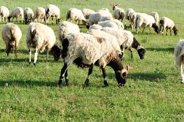 Sheep in mountain meadow