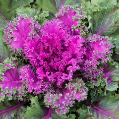 rosette of purple kale