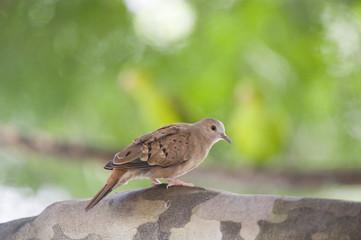 Rolinha a menor pomba do Brasil
