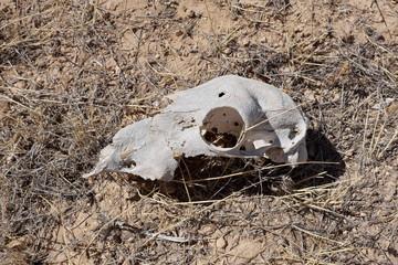 Crâne de moutons sur sol sec