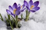 Fototapety crocuses in snow