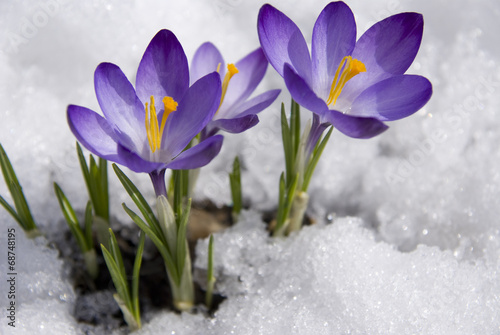 Deurstickers Krokussen crocuses in snow