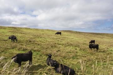 牧草地の牛 熊本