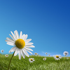 Daisy and dandelion meadow