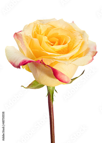 canvas print picture Yellow rose