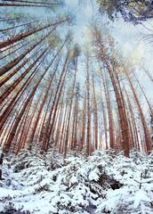 pinewood wide panorama winter