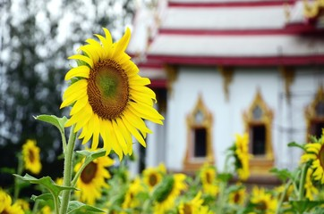 sunflower and Temple background