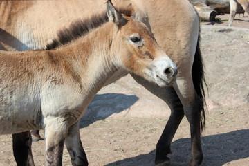 Przewalski-Pferd: Fohlen schmiegt sich an seine Mutter