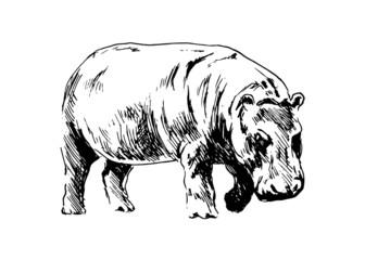 Hand drawing of a hippopotamus. Vector illustration