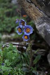 Meconopsis, blue poppy