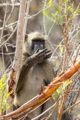 Wild Chacma Baboon with funny facial expressions