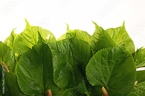 canvas print picture green leaves on a white background