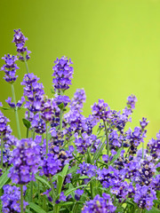 Lavendel vor grünem Hintergrund