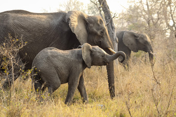 A wild baby Elephant walking along side it's mother