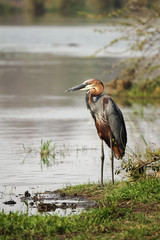 A large Goliath Heron bird standing next to a river