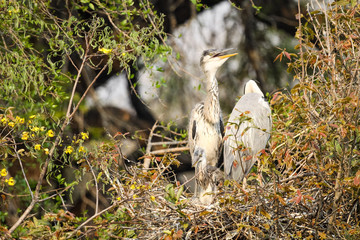 A family of wild Grey Heron birds perched in their nest
