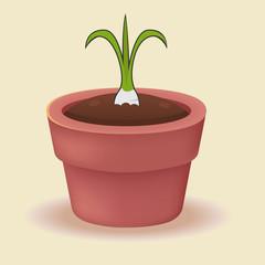 Turnip plant in a pot