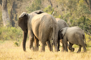 A wild mother Elephant walks with her two babies