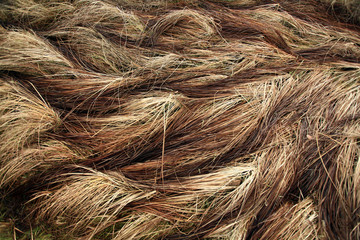 autumn dry grass sedge